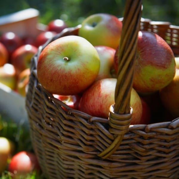photo of basket of apples representing Gravenstein apple white balsamic vinegar